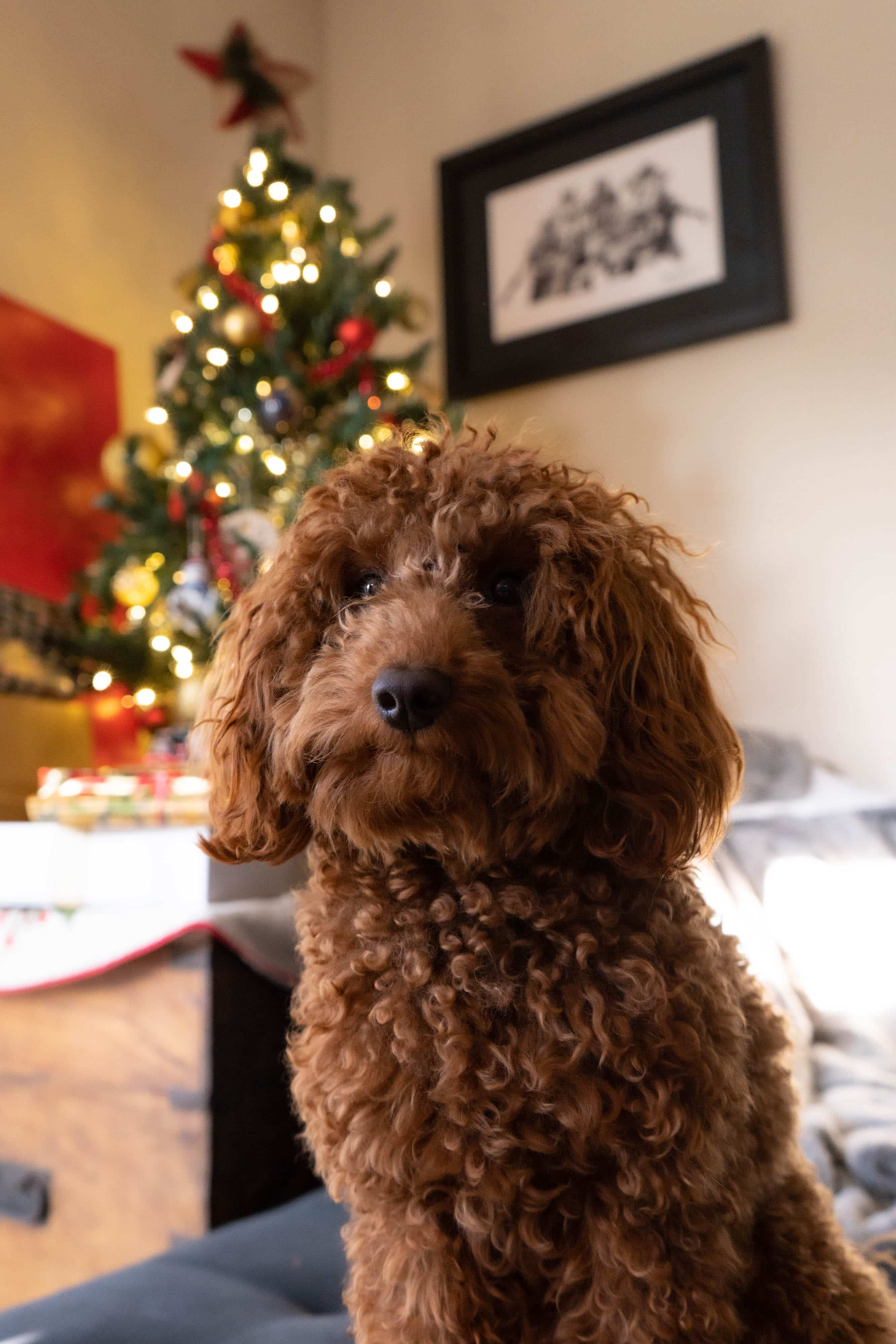 A golden doodle standing in front of a Christmas tree