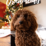 A golden doodle sitting in front of a Christmas tree